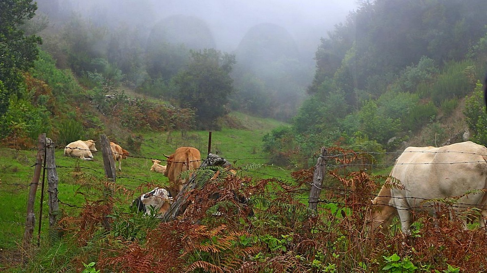 Foto: Kühe im Nebel entlang der Buslinie 100 auf La Palma