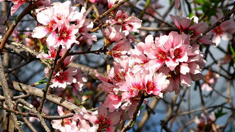 Foto: Blüten an einem Mandelbaum im Frühlung auf La Palma