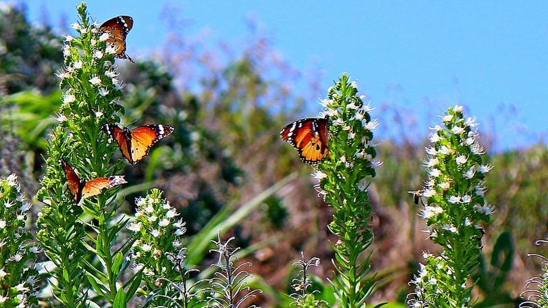 Foto: Admirals-Schmetterlinge auf der Insel La Palma
